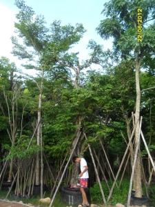 40ต้นมะเฟือง11