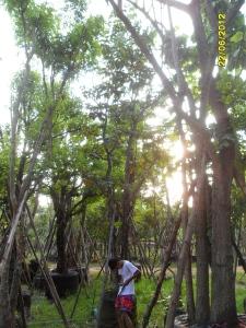 44ต้นอินทนิลบก10