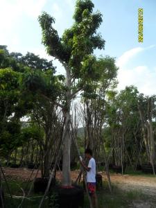 66ต้นมะไฟป่า10