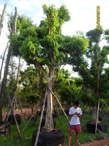 67ต้นมะไฟป่า10