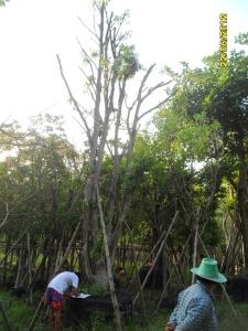 88ต้นมะปรางหวาน15