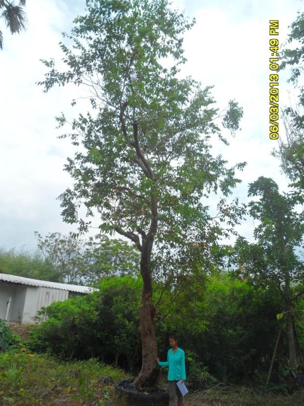 29ต้นเสม็ดแดง13